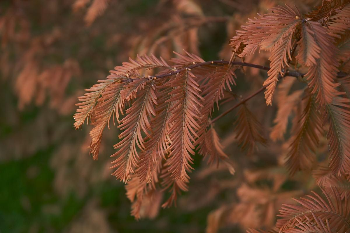 Dawn Redwood Trees for Sale Fast Growing Trees Dawn redwood tree pictures