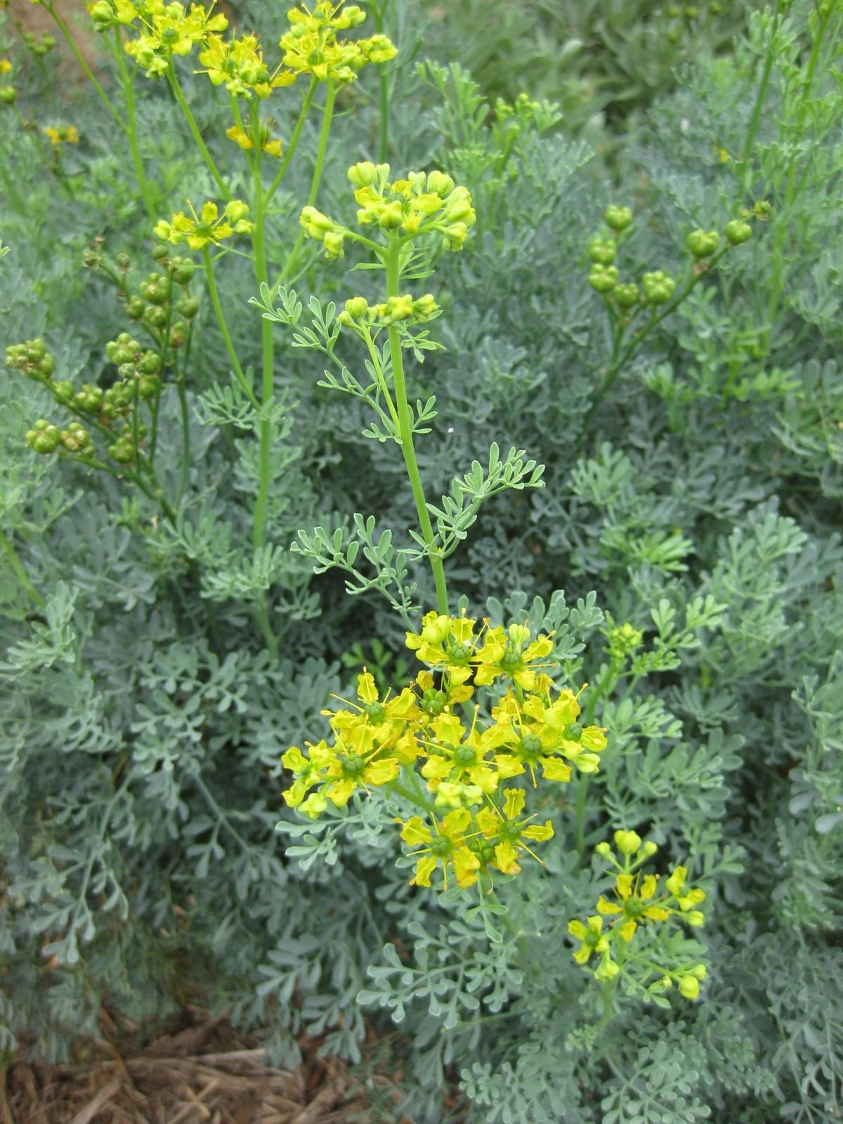 фото рута кареинкапская цветочного нектара эти