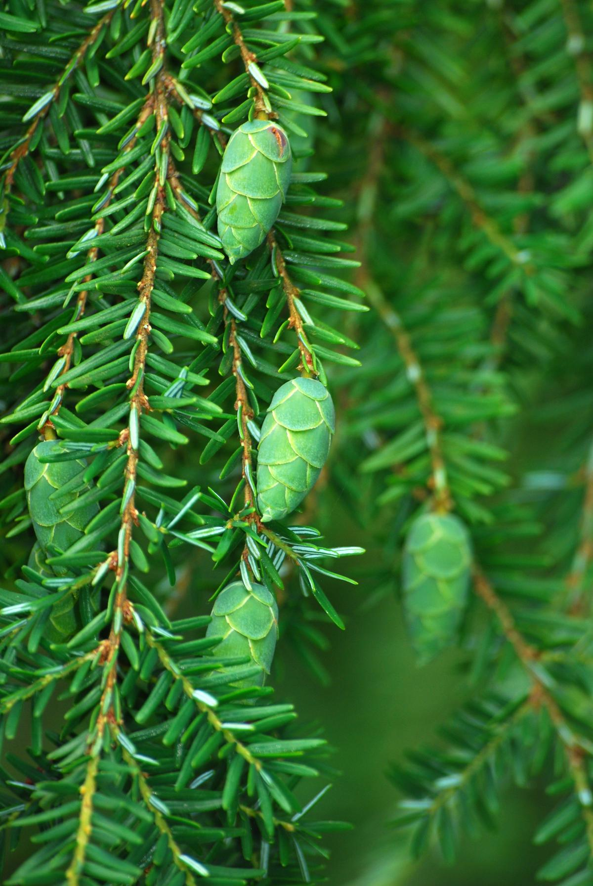 Wirtualny Atlas Roślin Choina Kanadyjska Tsuga Canadensis
