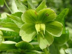 Ciemiernik zielony