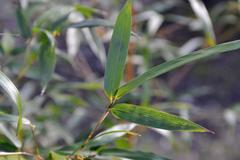 Bambus zwyczajny