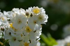 Róża wielokwiatowa