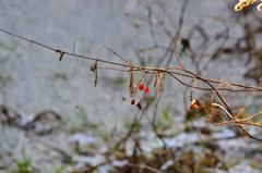 Psianka słodkogórz