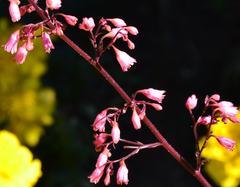 Żurawka drobnokwiatowa