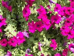 Petunia ogrodowa