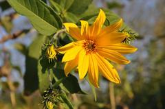 Słonecznik bulwiasty