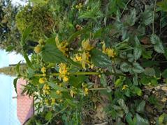Gajowiec żółty