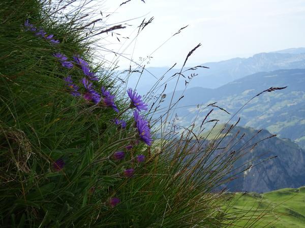 Aster alpejski