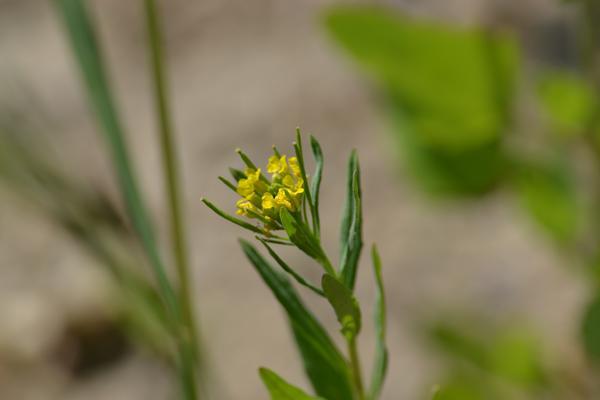 Pszonak drobnokwiatowy
