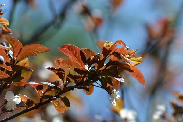 Śliwa wiśniowa